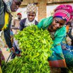 Teebäuerinnen in Ruanda liefern ihre Ernte in einer Sammelstelle der Oikocredit-Partnerorganisation Karongi Tea Factory ab.