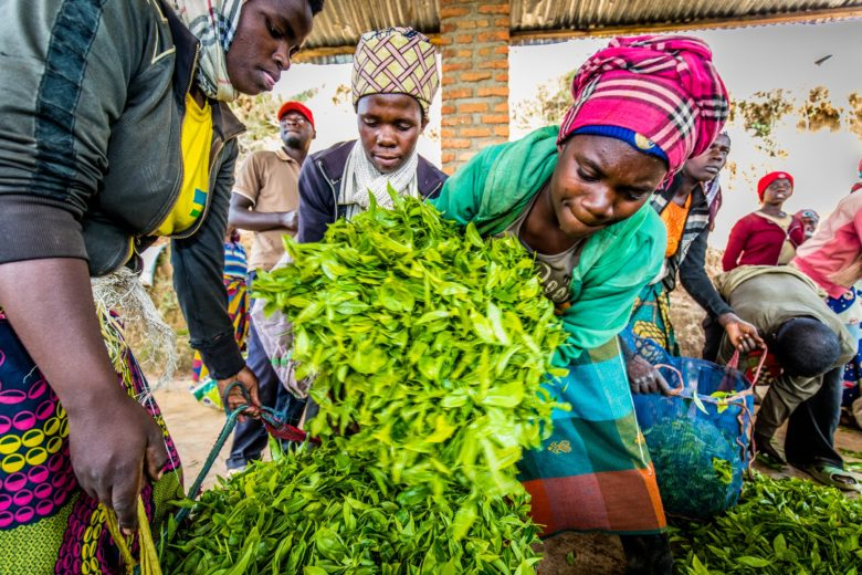 Teebäuerinnen in Ruanda liefern ihre Ernte in einer Sammelstelle der Oikocredit-Partnerorganisation Karongi Tea Factory ab.